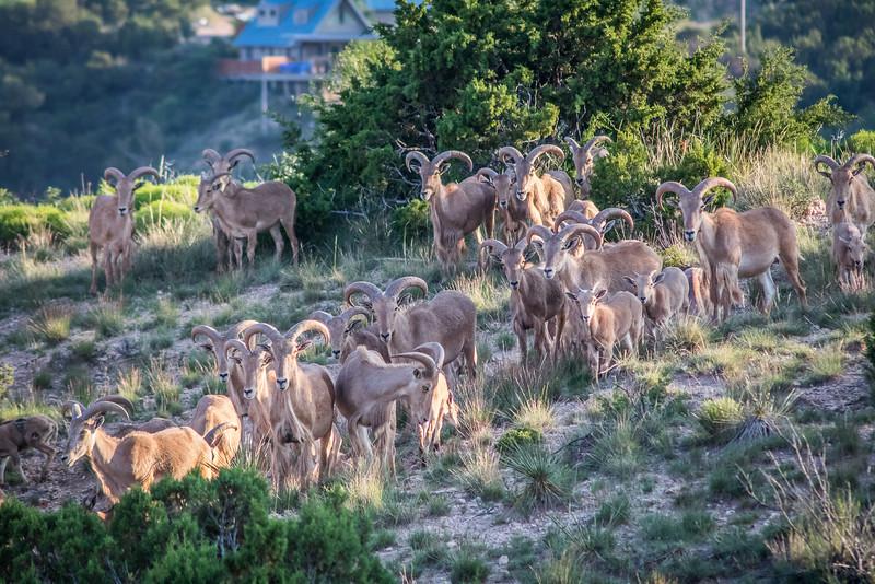 Counting Aoudad Sheep