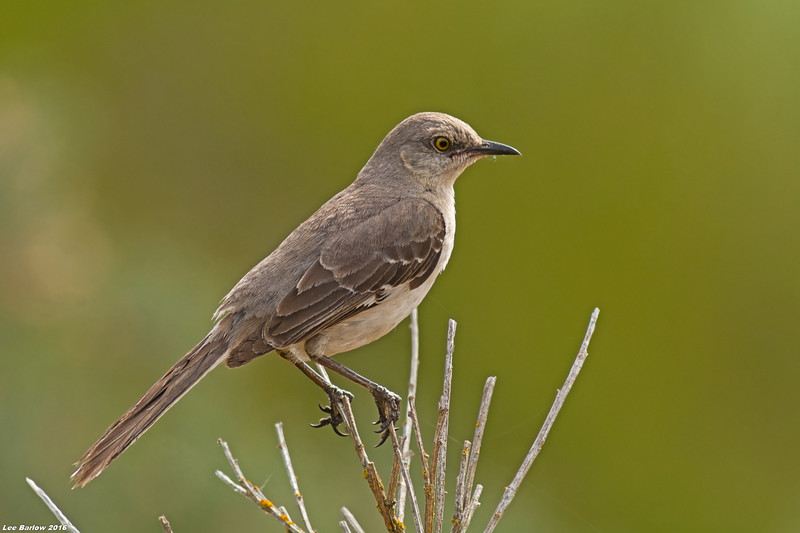 northern mockingbird victoria bc