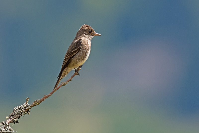 olive-sided flycatcher victoria bc
