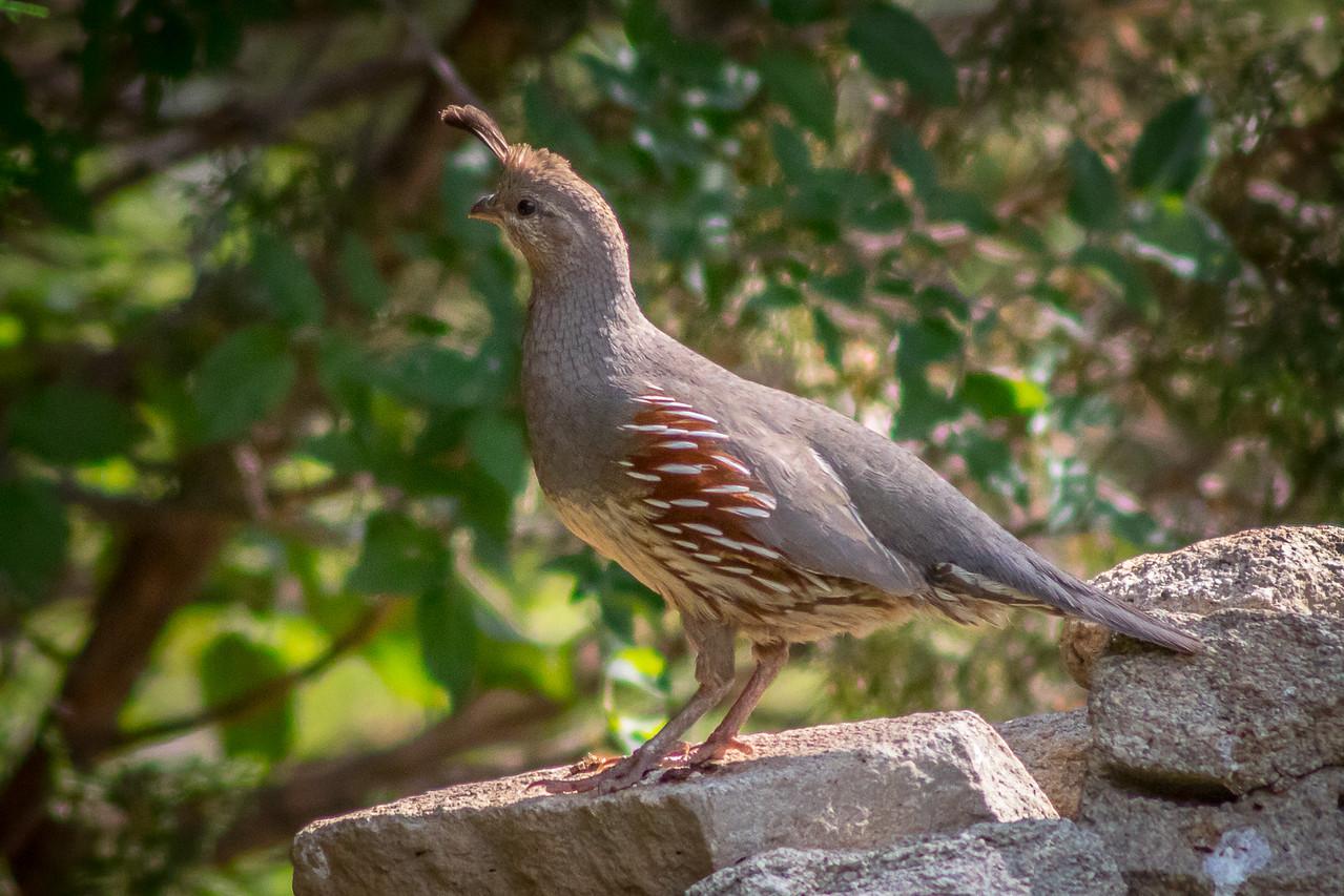 Gambel's Quail Female, Palo Duro Canyon