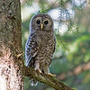 barred owl fledgling victoria bc