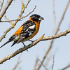 black-headed grosbeak victoria bc