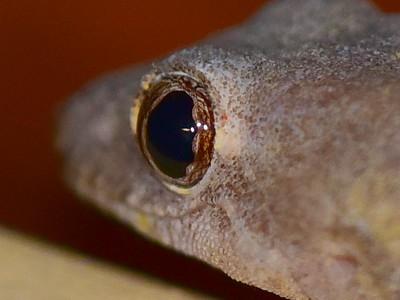 Gecko eye - from rear