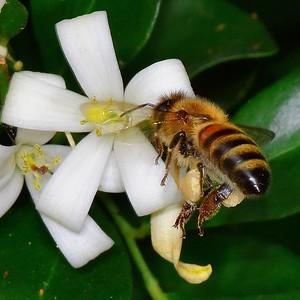 Bee on Orange Blossom Jasmin