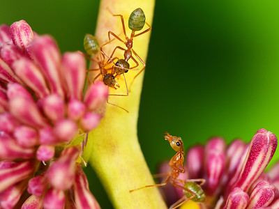 Green Ants checking visitor
