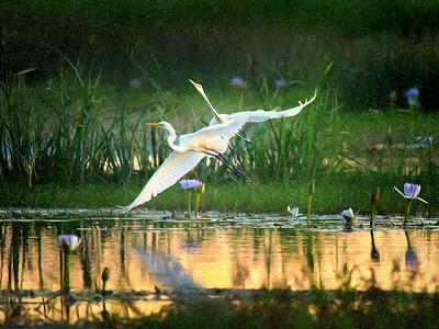 Egrets Ascending. Townsville Common. Painted.