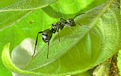 Emerald Green Ant Turns to Defend Itself.