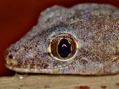 Lateral view of Gecko eye