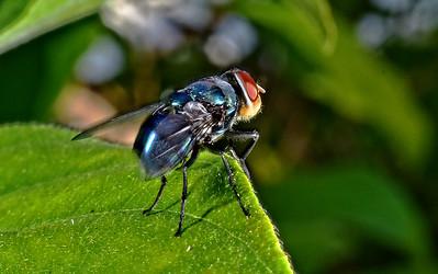 Blowfly 2
