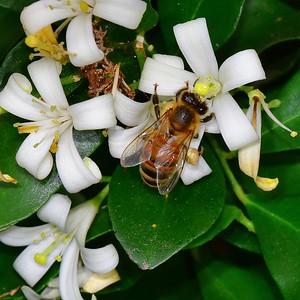 Bee on Orange Blossom Jasmin 3