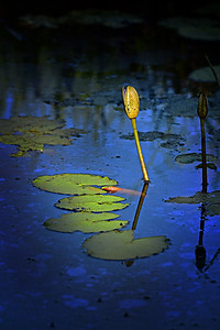 Water Lily, Town Common.