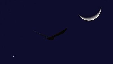 Moon, Venus, Osprey. Townsville Common.
