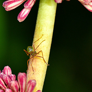 Green Ant in Defence Mode