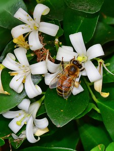 Bee on Orange Blossom Jasmin 2