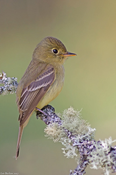 pacific-slope flycatcher victoria bc