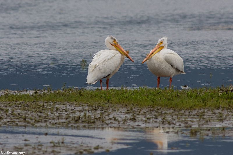 american white pelican cow bay