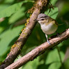 red-eyed vireo cowichan valley vancouver island