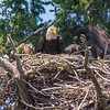 three bald eaglets and a red-tail hawk. they figure the adults brought it for food but the hawk had other plans...the will to survive
