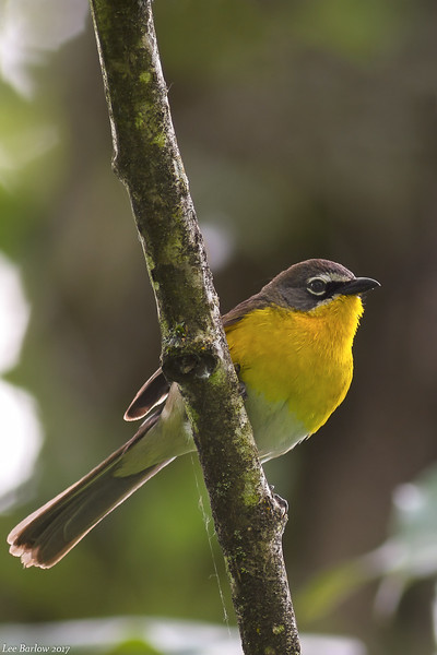 yellow-breasted chat langley bc