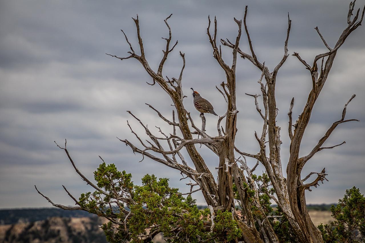 Gambel's Quail in a Tree