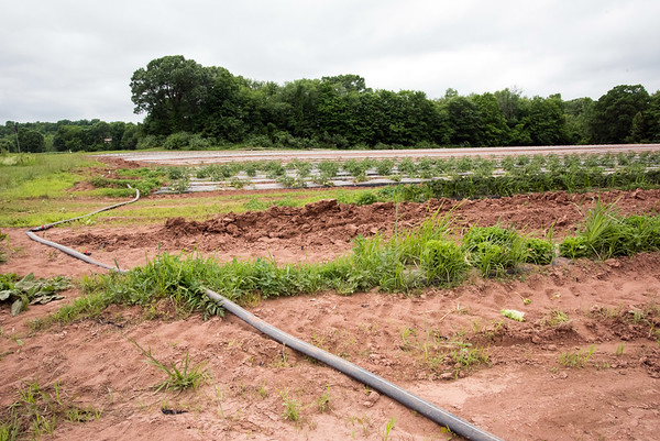 06/14/18 Wesley Bunnell | Staff A water hose crosses the fields at Cold Spring Brook Farm in Berlin which in turn lead to smaller diameter soaker hoses to feed the crops.
