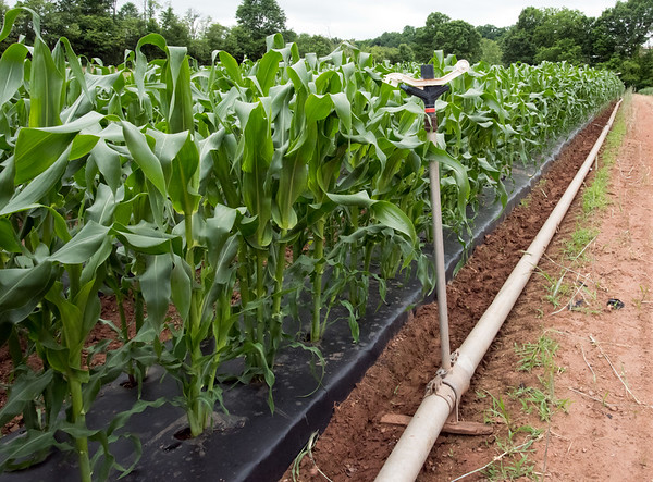 06/14/18 Wesley Bunnell | Staff Four inch metal pipe connects to overhead sprinklers to help water the corn crops at Cold Spring Brook Farm in Berlin.