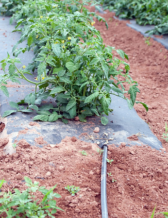 06/14/18 Wesley Bunnell | Staff A smaller diameter soaker hose is shown entering under the place tarp used for growing tomatoes at Cold Spring Brook Farm in Berlin. The plastic tarp helps to contain moisture and reduce weeds.