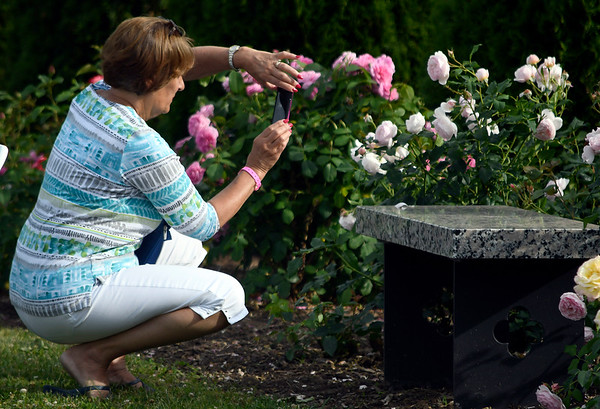 6/16/2018 Mike Orazzi | Staff Mary Alexander photographs roses during the fifth annual New Britain Rose Garden Festival Saturday evening in Walnut Hill Park.