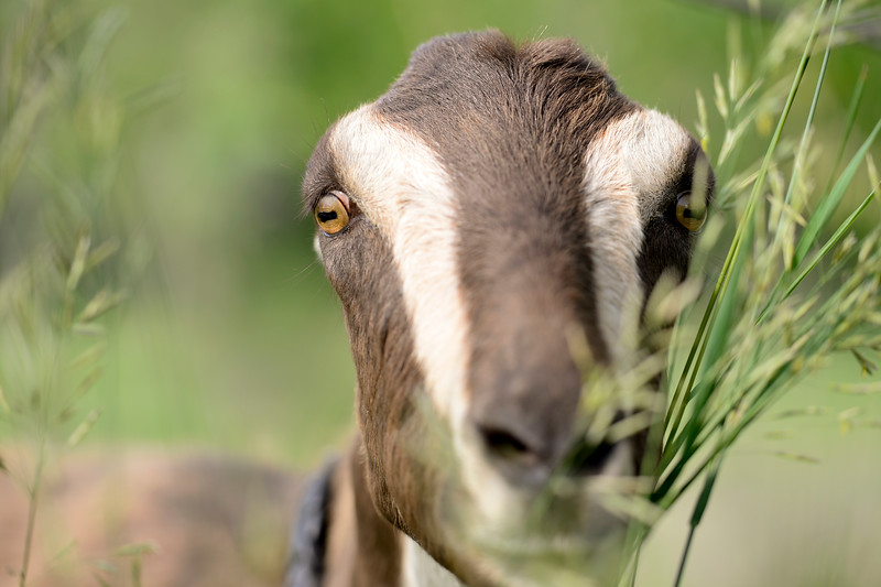 Goat Meet and Bleat near Tantra Park