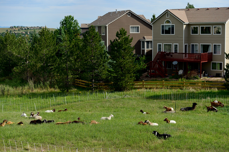 Mutton Mowers Working With Superior to Combat Weeds