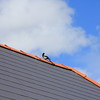 A Magpie on the rooftop of a building at the Bible College of Wales, Swansea