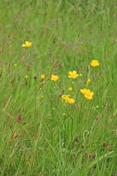 Buttercups blooming off the road from Ffald-y-Brenin to Jabes Vestry