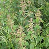 Stinging Nettle (Urtica dioica) in bloom along road from Ffald-y-Brenin to Jabes Vestry