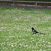 Common Magpie (Pica pica) at Kensington Gardens