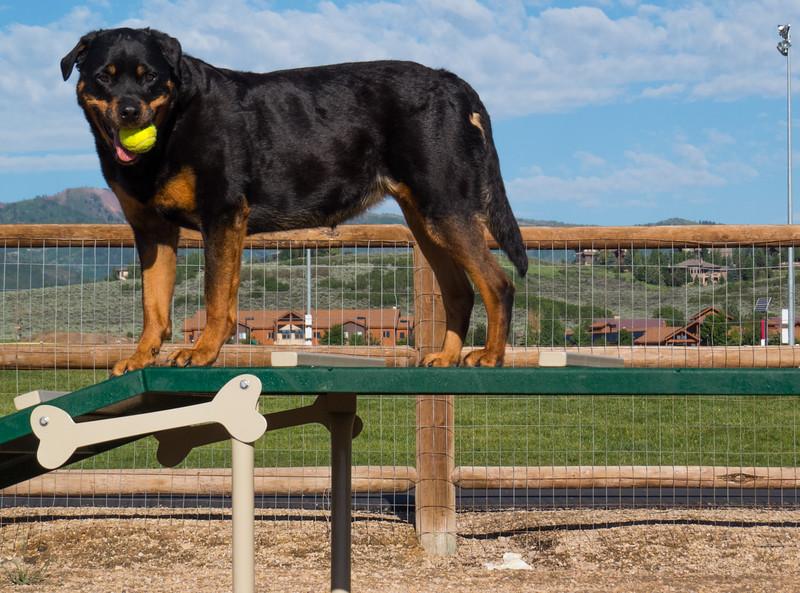 Kota the Agility Rottweiler