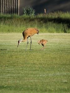 Mamma and Baby Sandhill Cranes