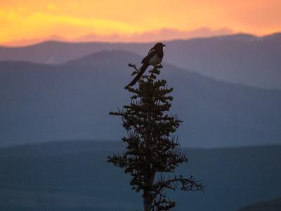 Magpie Sunrise