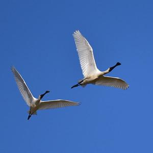 Spoonbills, Near Teegora Rock, Townsville Common.