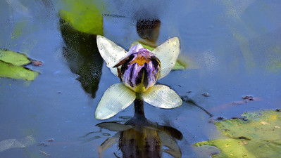 Water lily, Tegoora Rock, Townsville  Common. 2.