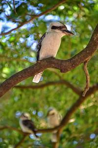 """Kookaburras, Anderson Gardens, Townsville. 2."""