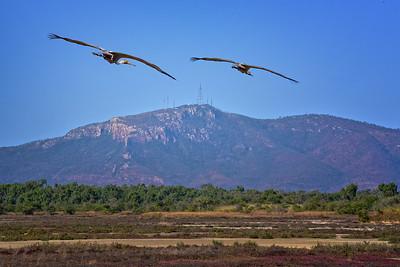 Brolgas, Near Teegora Rock, Townsville Common.  Mt. Stuart Background.