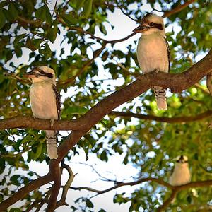 """Kookaburras, Anderson Gardens, Townsville. 1."""