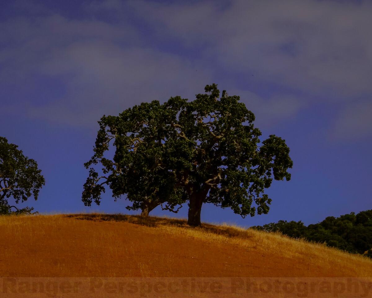 Oaks on a Ridge