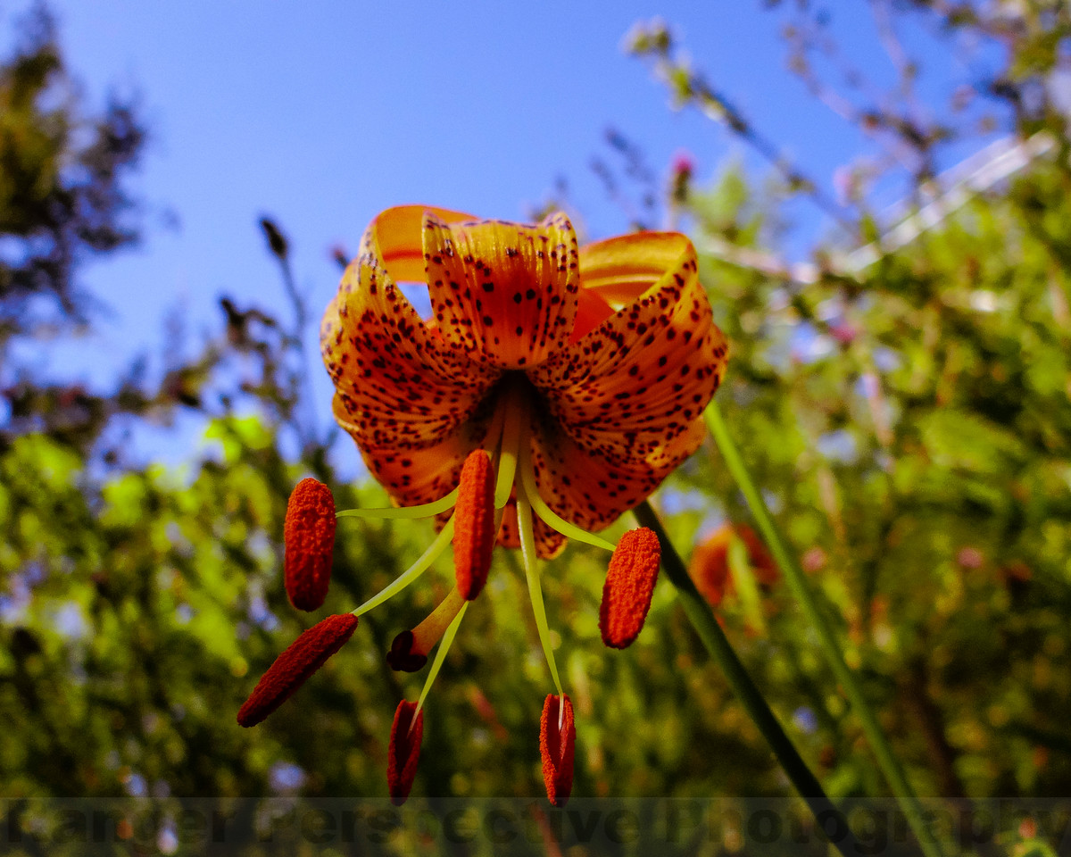 Leapard Lilies in the Big Carson