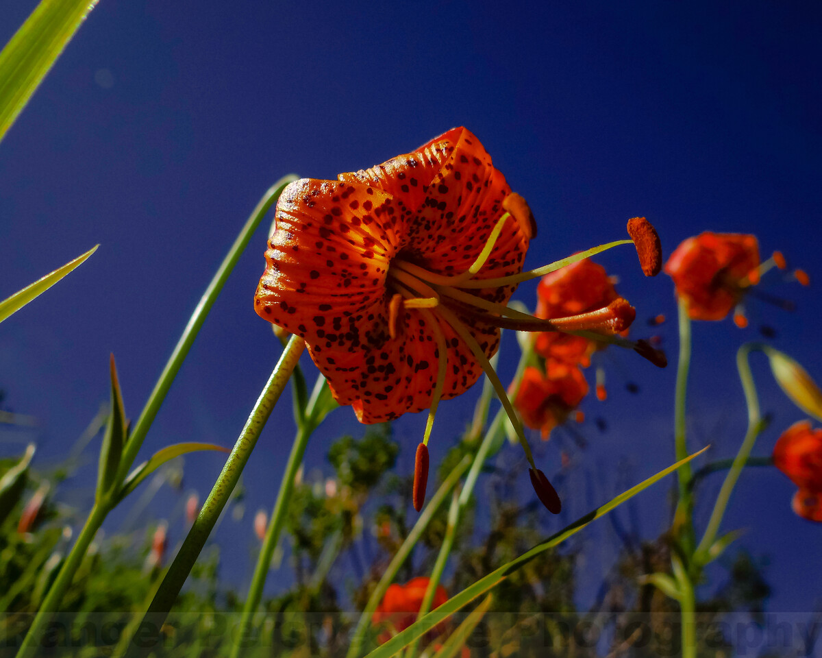 Leapard Lilies