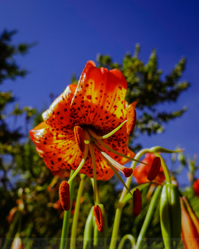 Leapard Lily on Pine Mountain