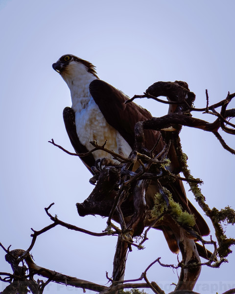 Osprey at Bon Tempe