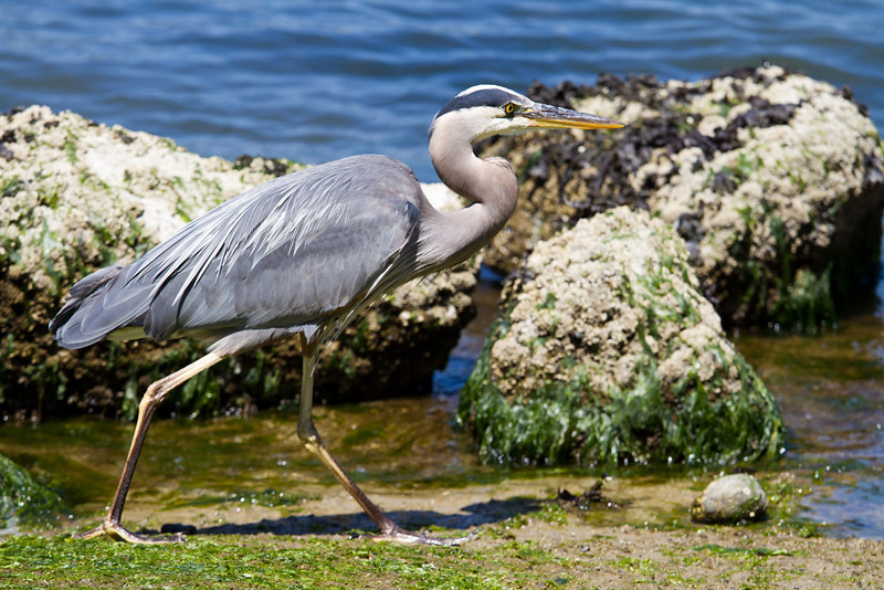 A (hardy) heron in Stanley Park :-)