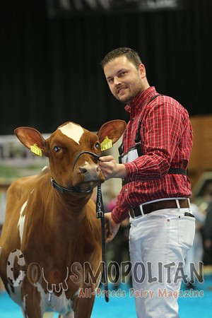 Junior Bulle Expo 2015 Red and White Holstein Heifers