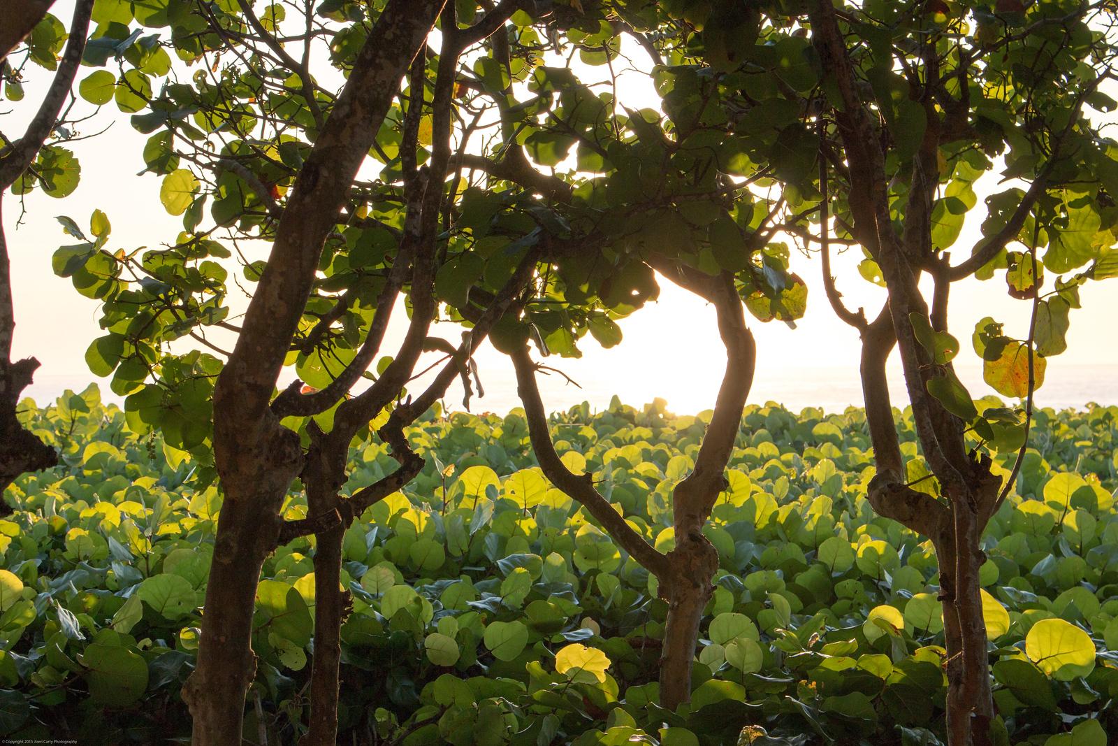 Sunrise Sea Grapes